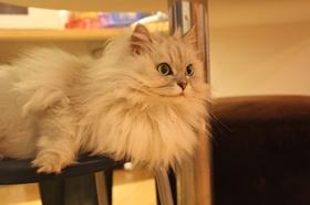 金吉拉猫身上有跳蚤怎么去除 跳蚤去除方法