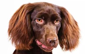 博伊金猎犬得了胰腺炎有什么症状 胰腺炎症状介绍