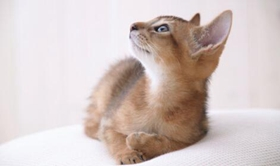 波米拉猫流感怎么治疗 波米拉猫流感治疗方法