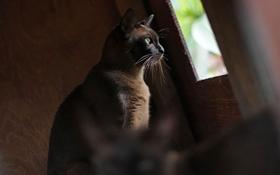 缅甸猫有什么遗传疾病 缅甸猫遗传疾病介绍