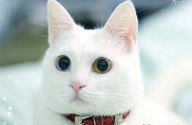安哥拉猫怎么预防糖尿病 猫咪糖尿病预防方法