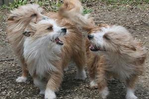 葡萄牙波登可犬抽搐怎么办 葡萄牙波登可犬抽搐应对方法