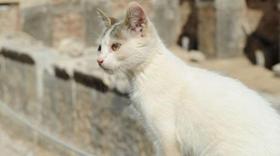 土耳其梵猫口水多怎么回事 土耳其梵猫口水多原因介绍