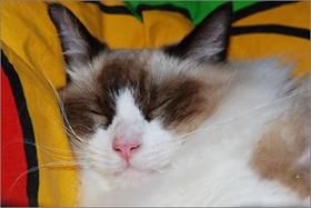 伯曼猫脐疝是什么 脐疝发病原因介绍