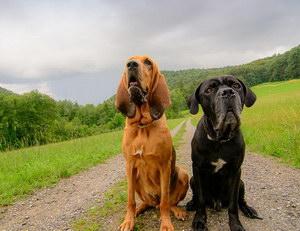 寻血猎犬怎么驱虫 寻血猎犬驱虫方法