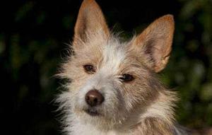 葡萄牙波登可犬有多动症怎么办 多动症治疗方法