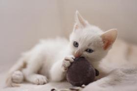 威尔斯猫咳嗽怎么办 威尔斯猫咳嗽治疗方法