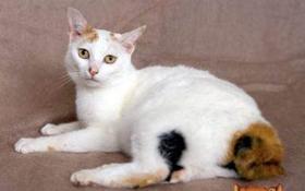 日本短尾猫抽搐怎么办 日本短尾猫抽搐原因介绍