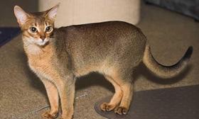 阿比西尼亚猫发烧如何治疗 阿比西尼亚猫发烧治疗方法