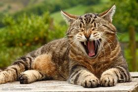 被威尔斯猫咬了怎么办 威尔斯猫咬伤处理方法