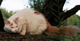 西伯利亚猫得博代氏菌病怎么治疗 博代氏菌病治疗方法