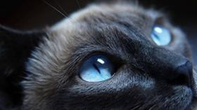 哈瓦那棕猫牙周炎怎么治疗 哈瓦那猫牙周炎治疗方法