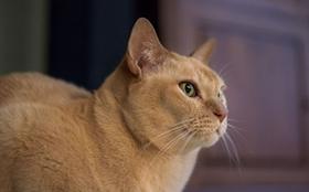 缅甸猫得了皮肤病如何治疗 皮肤病治疗方法