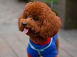 两三个月的泰迪怎么训练 泰迪犬训练视频教程