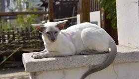 东方短毛猫生病怎么照顾 学习照顾生病的猫咪