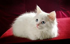 波斯猫呕吐吃什么药 波斯猫呕吐原因介绍