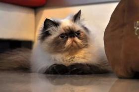 喜马拉雅猫遗传疾病有哪些 喜马拉雅猫遗传疾病介绍