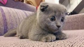 俄罗斯蓝猫得了猫癣如何治疗 猫癣治疗方法介绍