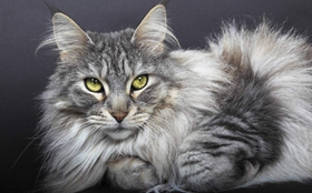 缅因猫肠炎吃什么药 猫咪肠炎症状