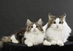 挪威森林猫幼猫感冒吃什么药 发病原因详解