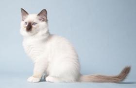 褴褛猫尿路感染怎么治疗 猫咪生病注意事项