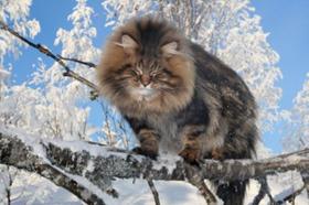挪威森林猫咳嗽怎么办 猫咪咳嗽治疗措施