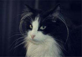 山东狮子猫得了猫瘟怎么治疗 猫瘟治疗方法
