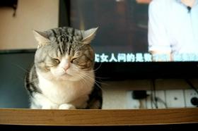 美国短尾猫怎么治疗猫癣 美国短尾猫猫藓治疗方法