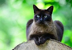 东奇尼猫得了猫瘟怎么治 猫瘟治疗方法