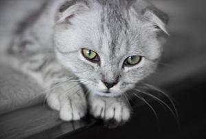 折耳猫遗传病有哪些