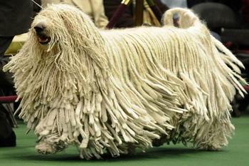 可蒙犬(能潜水的犬)