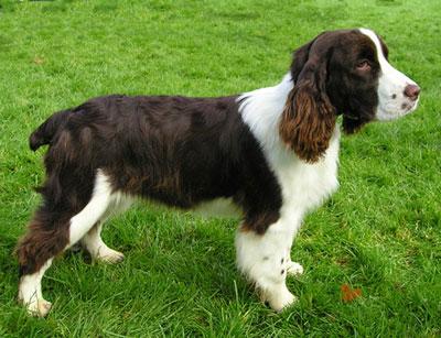 英国史宾格犬