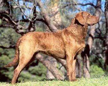 乞沙比克猎犬
