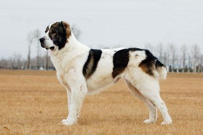 中亚牧羊犬