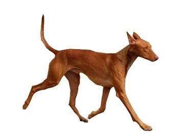法老王猎犬
