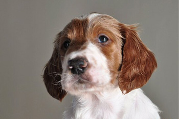 爱尔兰红白雪达犬