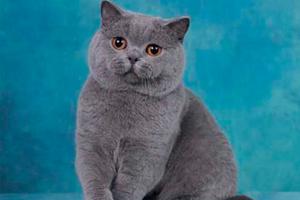 蓝猫配猫注意事项