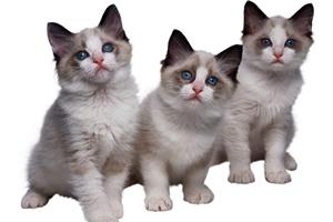 一岁布偶猫发情怎么办