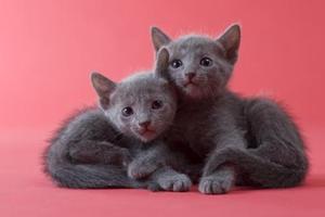 蓝猫换牙时期吃什么