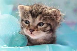 小猫怎么教它猫砂盆拉屎